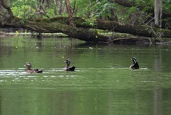 Wood Ducks on the Black River in Sampson County, North Carolina