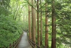 Wood floor walkway in metasequoia forest