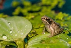 Wood Frog Metamorph