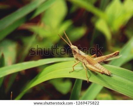 wood grasshopper on leaves. grasshopper #1269475822