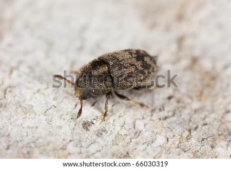 Wood living beetle on wood, extreme close-up #66030319