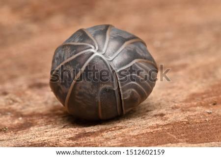 Wood louse Armadillo from Jerusalem