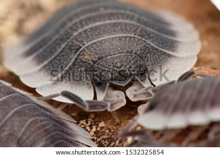 Wood louse Poercelio werneri in nature