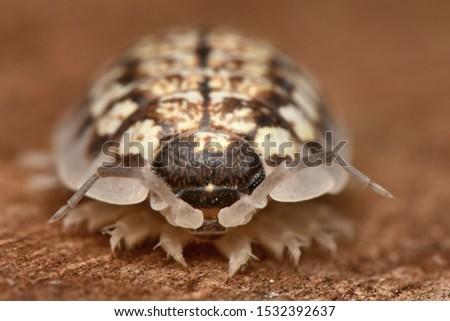 Wood louse Porcelio albinus in nature