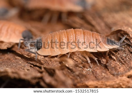 Wood louse Porcelio silvestri from Catalania