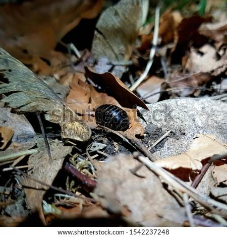Wood louse species amidst fallen leaves, Poland