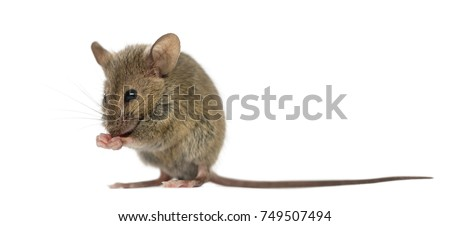 Wood mouse cleaning itself in front of a white background #749507494