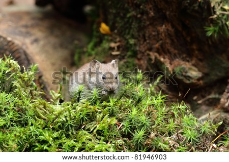 Wood Mouse eating
