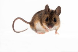 Wood Mouse isolated against white background.
