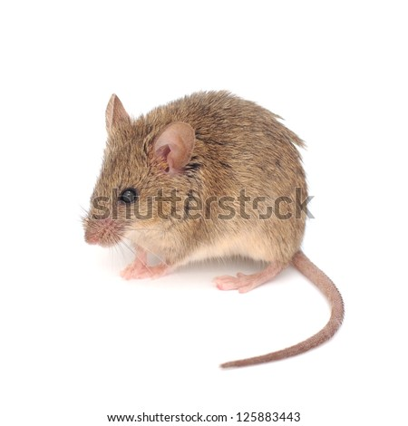 Wood mouse  isolated on a white background.