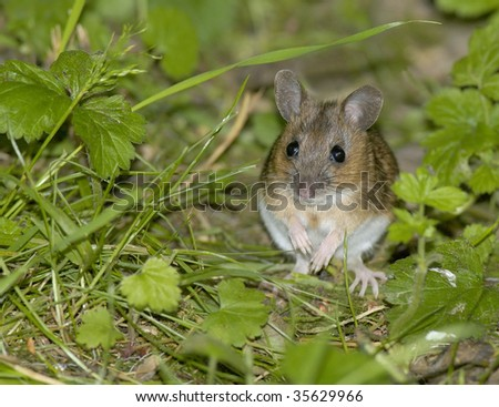 Wood Mouse or Long Tailed Field Mouse - Apodemus sylvaticus Sitting up in grass