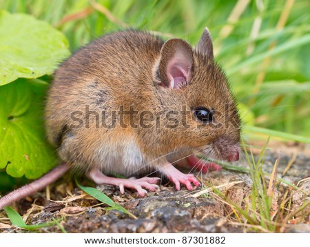 Wood mouse sitting on log sideview