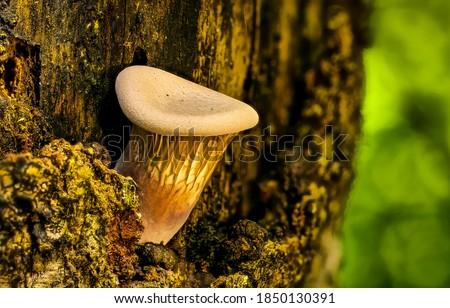 Wood mushroom close up view. Wood mushroom. Mushroom. Shroom