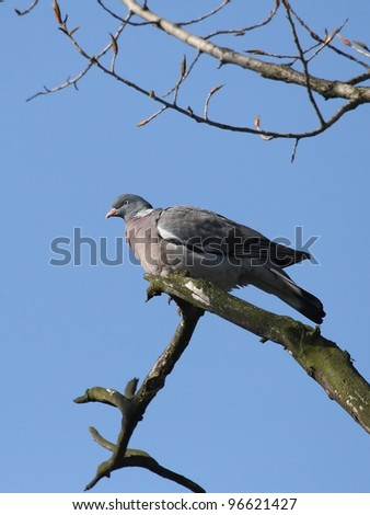 Wood pigeon (Columba oenas) sitting on a branch.