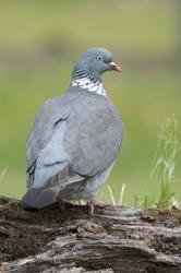 Wood pigeon (Columba palumbus) perched on log