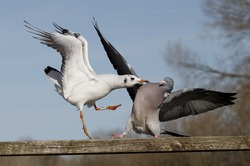 Wood pigeon, Columba palumbus, single bird fighting with Black-headed gull, March 2015