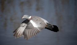Wood pigeon, Columba palumbus, single bird in flight, Gloucestershire, March 2015
