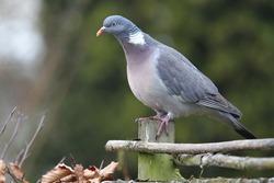 wood pigeon(Columba palumbus) sitting on a fence