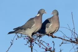 Wood pigeon, Columba palumbus, Two birds on a branch,  Warwickshire, December 2016
