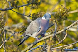 Wood pigeon eating seeds from a tree