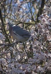 Wood pigeon perched in a flowering tree.