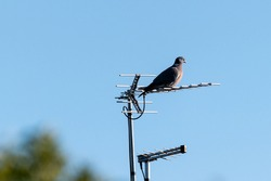 Wood pigeon perching on top of a TV aerial