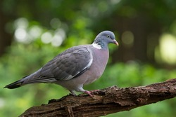 Wood pigeon sitting on a tree stump in forest Hoenderloo, Netherlands