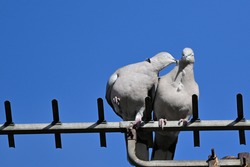 Wood pigeon tries to move away as another pecks at it whilst they perch atop a  television antenna