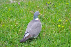 Wood pigeon, turtledove eating grass in spring