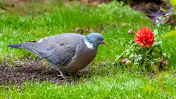 Wood pigeon, turtledove eating in the grass, with a red ranunculus flower