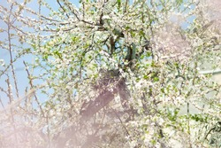 Wood pigeon turtledove sits in a nest in the spring on a tree in the branches of cherry blossoms
