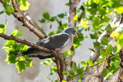 Wood pigeon, turtledove sleeping in a birch tree
