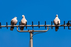 Wood pigeons perching atop a  television antenna