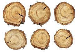 Wood slice texture, Set of slices of wood. Set slice of tree trunk