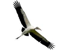 Wood stork isolated on white background.