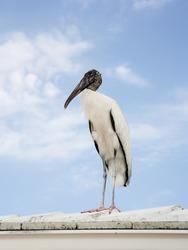 Wood stork landed on the roof, Sky background
