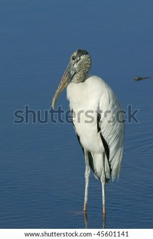 Wood Stork Profile - stock photo