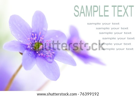 wood violet flower with space for text