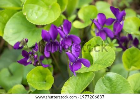 Wood violet Viola odorata. wild violet. Сток-фото ©