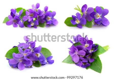 Wood violets flowers close up