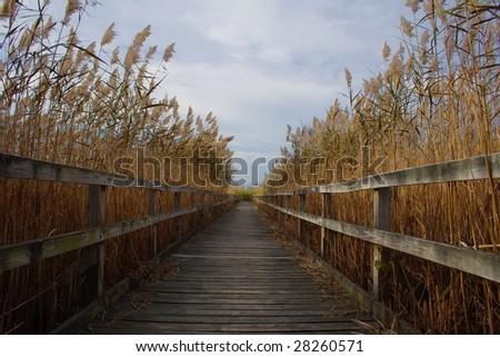 wood walkway through reeds in...
