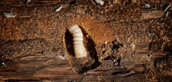 Wood worm makes damage. Woodworm. Bark beetle larvae on the the bark wooden surface. Insect pest spoils raw wood closeup. Wood-Boring Beetle. Holes in furniture. Pests.