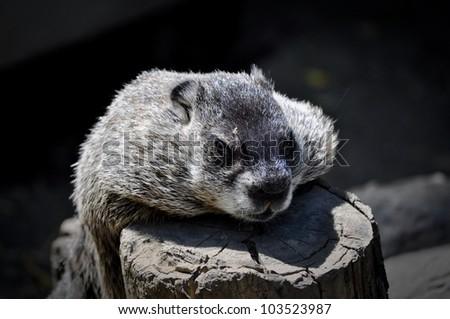 Woodchuck in Toronto Zoo