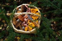 Wooden basket full of different freshly picked wild and edible mushrooms in Estonian boreal forest during autumn.