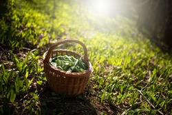Wooden basket with plucked ramson leaves backlit by morning sun in spring forest with copy space. Green herb leaves of bear garlic, allium ursinum, harvested from the ground illuminated by sun rays.