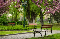 wooden benches under sakura trees. beautiful cherry blossom in city park