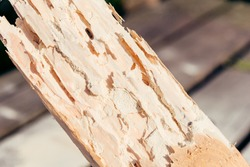 Wooden board, sawn timber damaged by pests. Small worms, powder beetles reduce wood to a flour-like powder.