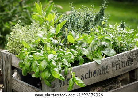 Wooden crate with a variety of fresh green potted culinary herbs growing outdoors in a backyard garden