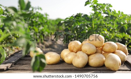 Wooden crate with raw young potatoes in field on summer day Сток-фото ©