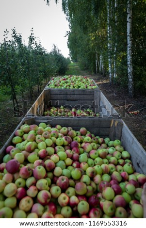 Wooden crates full of apples #1169553316